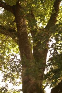 un vieux chêne